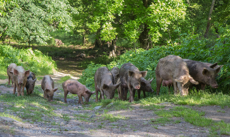 Pigs living in the forest