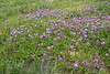 (Oxytopis albana)Astragalus spec?
