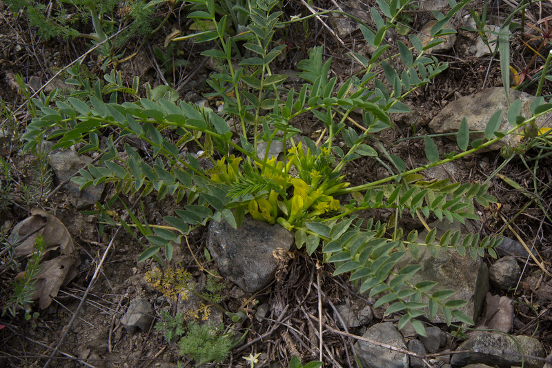 Astragalus cf angustiflorus