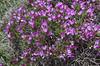 Onobrychis cornuta