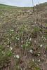 Pushkinia scilloides