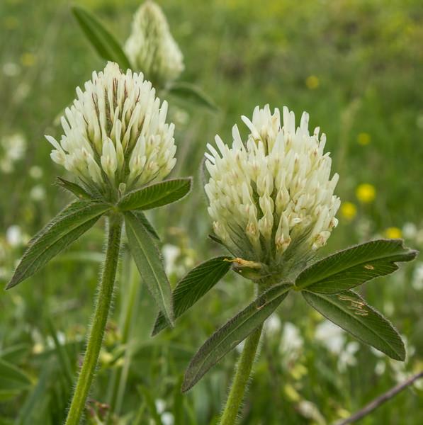 Trifolium canescens