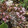 Asperula affinis