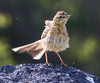Anthus campestris