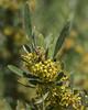 Rhamnus pallasii