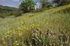 Iris acutiloba ssp lineolata and Iris imbricata