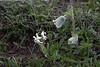 Corydalis angustifolia and Pulsatilla cf albana or P. georgica