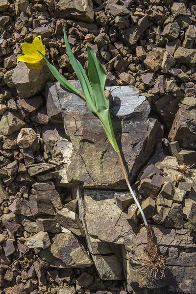 Bulb of Tulipa confusa