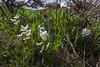 Corydalis angustifolia