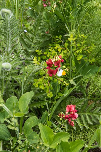 Lathyrus roseus