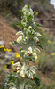 Eremostachys laciniata