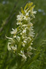 Orchis flavescens
