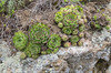 Sempervivum caucasicum