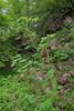 Ribes biebersteinii