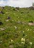 Iris caucasica