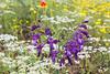 Gladiolus kotschyanus