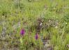 Dactylorhiza umbrosa