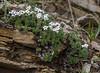 Androsace villosa