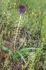 Muscari caucasicum