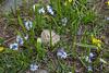 Puschkinia scilloides and Gagea glacialis