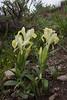 Iris caucasica ssp caucasica