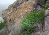 Astragalus cf dzhebrailicus
