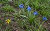 Gagea glacialis and Scilla siberica ssp armena