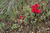 Phelipaea tournefortii