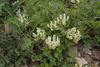 Astragalus globosus