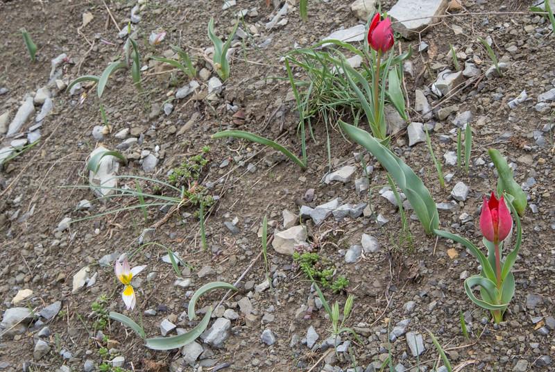 Tulipa polychroma and T. julia