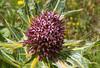 Gundelia armeniaca