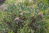 Astragalus cf kurdicus
