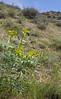 Euphorbia spec