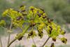 cf  Tetropium castaneum on Prangos ferulacea