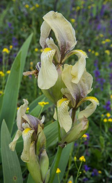 Iris imbricata