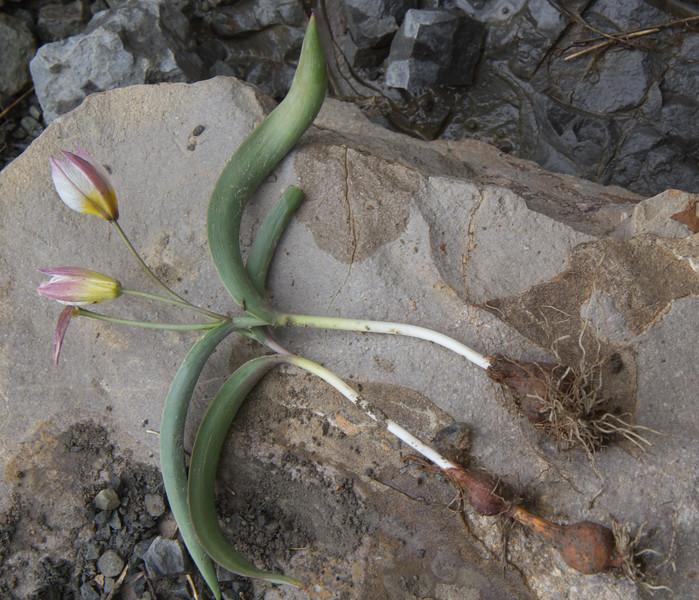 Bulb of Tulipa polychroma