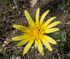 Tragopogon reticulatus