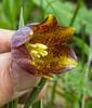 Fritillaria crassifolia ssp kurdica