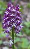 Orchis purpurea ssp caucasica