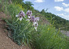 Iris acutiloba ssp lineolata