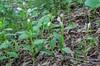 Cephalanthera damasonium