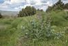 Salvia cf nemorosa