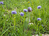 Globularia trichosantha and Fritillaria crassifolia ssp kurdica