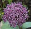 Allium akaka