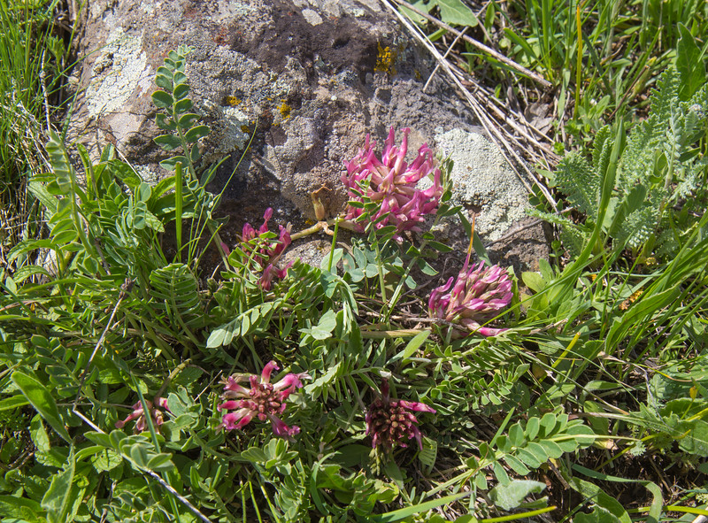 Astragalus cf campylosema