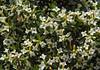 Daphne caucasica or cf oleoides