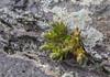 Rosularia spec