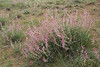 Astragalus cf anthylloides