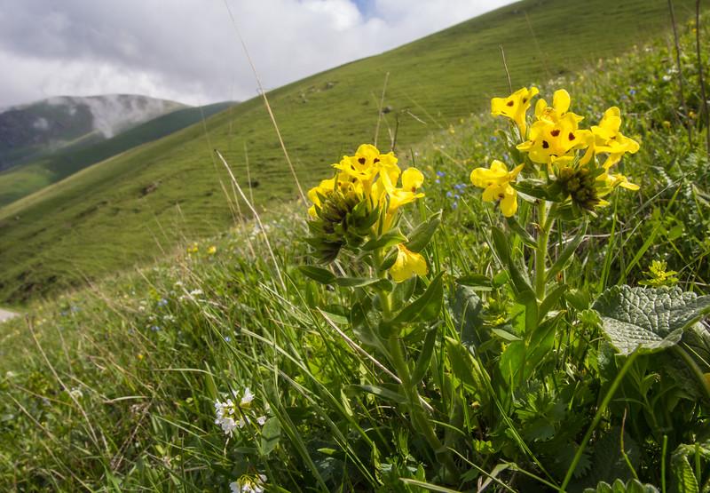 Arnebia pulchra