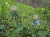 Pedicularis wilhelmsiana